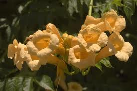 Campsis radicans  gold