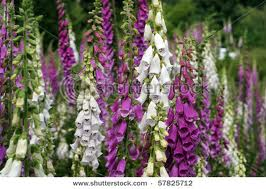 Digitalis purpurea (Gyűszűvirág)