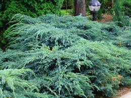 Juniperus squmanta Blue Carpet