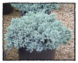 Juniperus squmanta Blue Star