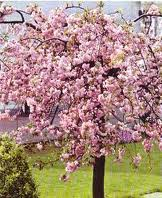 Prunus serrulata Kiku-shidare-Sakura (Csngg Japn dszcseresznye)