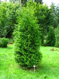 Thuja occidentalis Brabant 2.