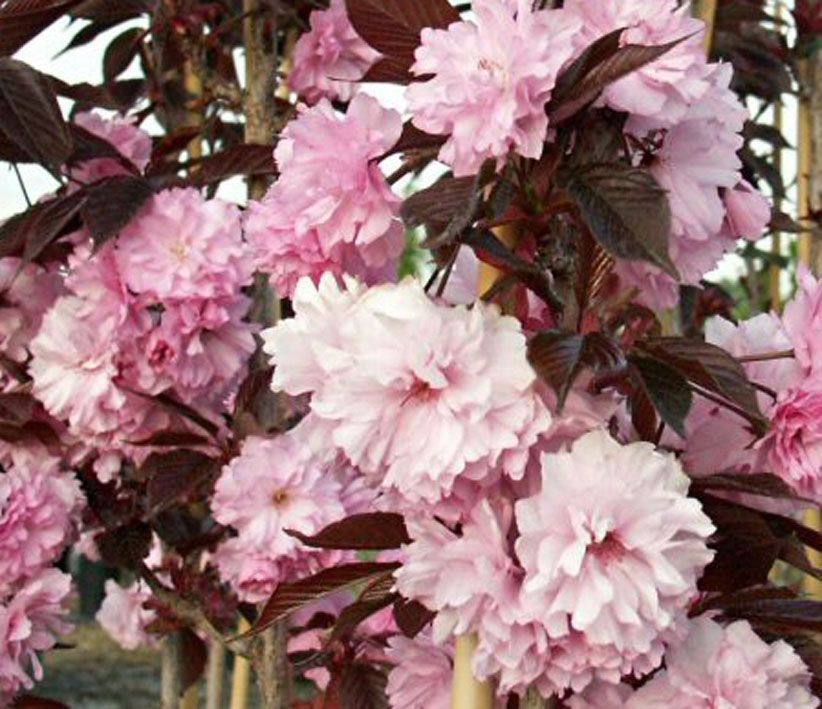 Prunus-serrulata-Royal-Burgundy