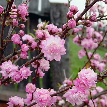 dwarf-flowering-almond-prunus-glandulosa-4